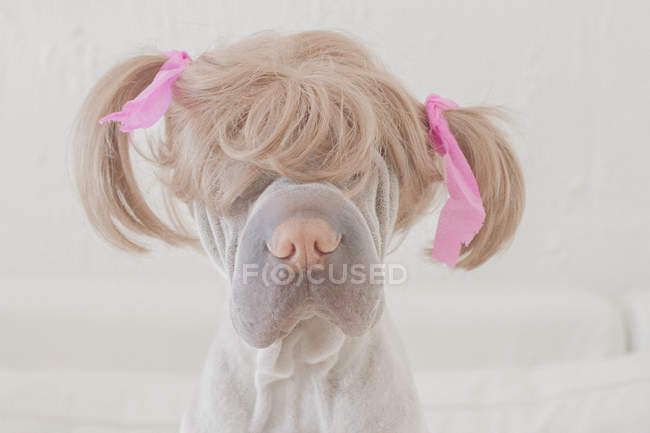 Dog wearing wig with pigtails — Stock Photo