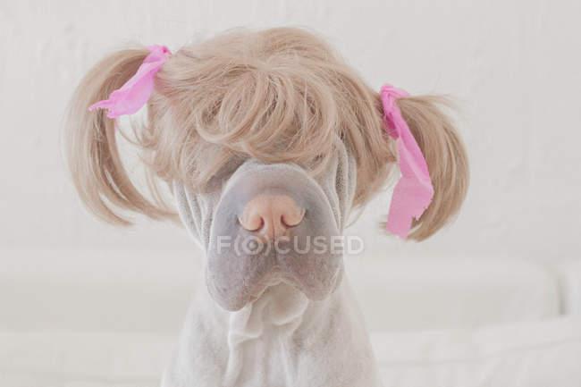Собака носить парик с косичками — стоковое фото