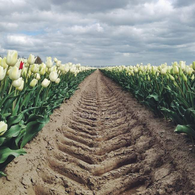 Piste de pneus sur terrain de tulipes — Photo de stock