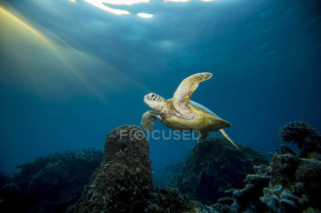 Tortue nageant sous l'eau — Photo de stock