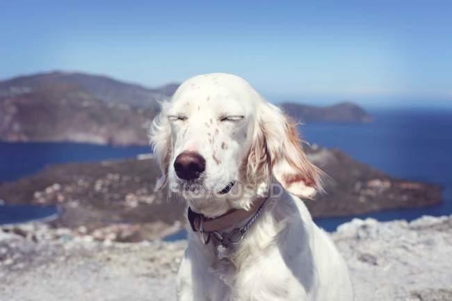 Englischer Setter beim Sonnenbaden — Stockfoto