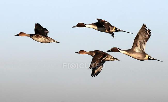 Bandada de patos golondrinos volando en el cielo - foto de stock