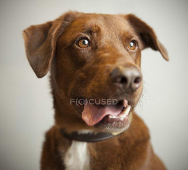 Muselière chien heureux — Photo de stock