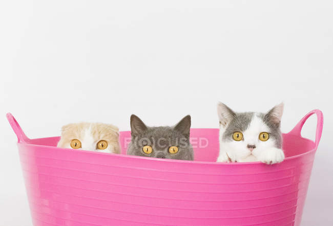 Cats sitting in pink bucket — Stock Photo