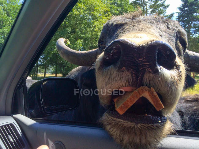 American Bison putting head inside car — Stock Photo