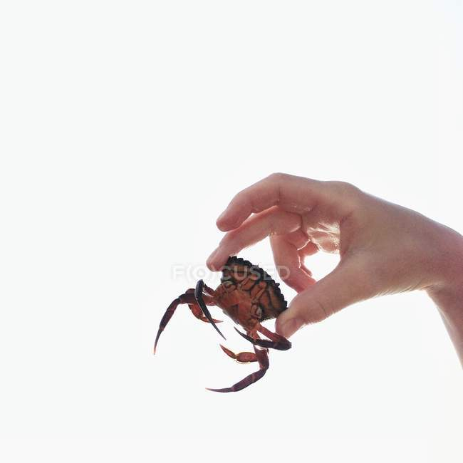 Hand holding small crab — Stock Photo