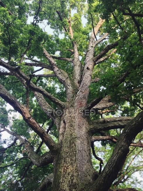 Мощные гигантские дерево — стоковое фото