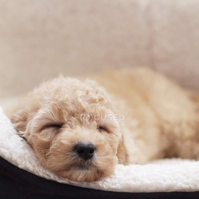 Focinho de cão a dormir — Fotografia de Stock