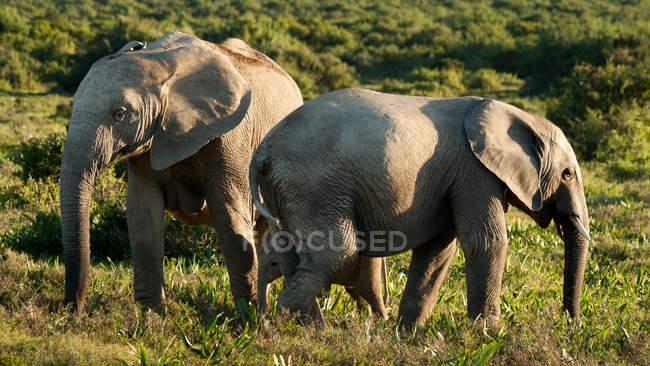 Elefanti selvaggi a savannah — Foto stock