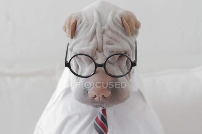 Шар-пей собака, одетые в очках — стоковое фото