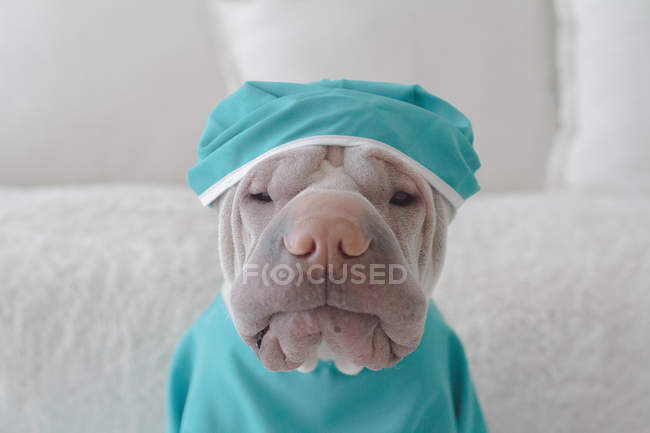 Chien Shar pei médicales scrubs — Photo de stock