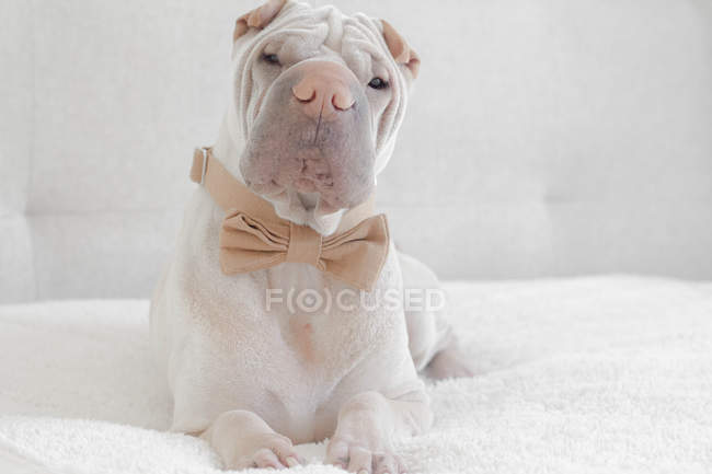 Chien Shar Pei porte papillon — Photo de stock
