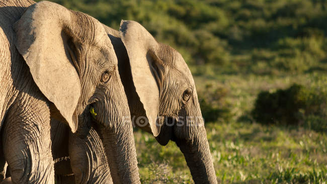 Wild elephants in savannah — Stock Photo