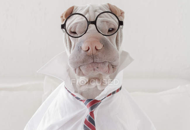 Shar Pei dog dressed in glasses — Stock Photo