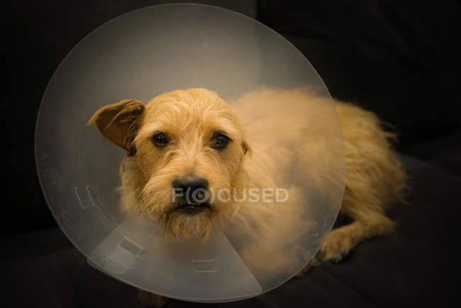 Terrier dog with protective cone — Stock Photo