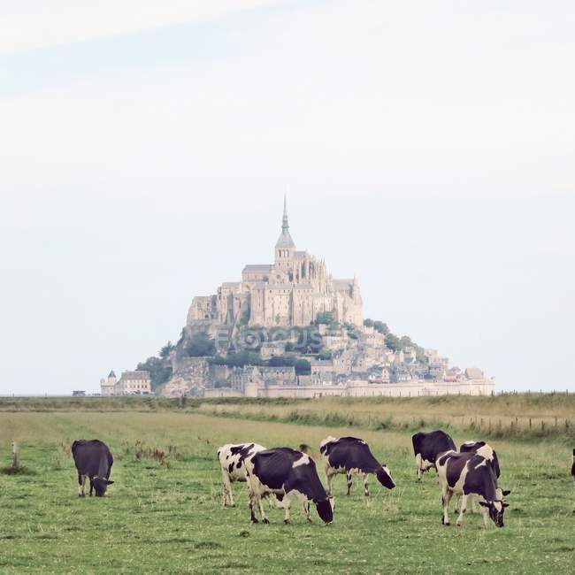 Cows in front of Mont St Michel — Stock Photo