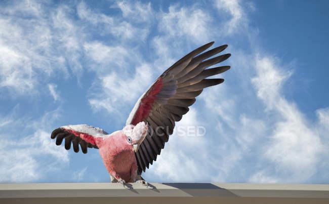 Pájaro de cacatúa galah en parapeto - foto de stock