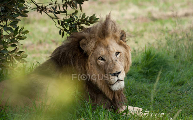 Lion couché sous l'arbre — Photo de stock