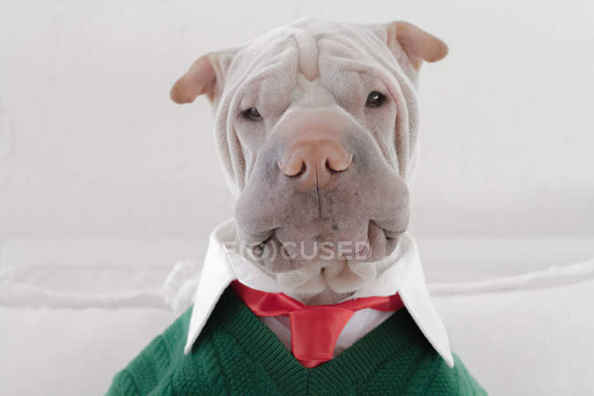 Shar Pei dog dressed in shirt — Stock Photo