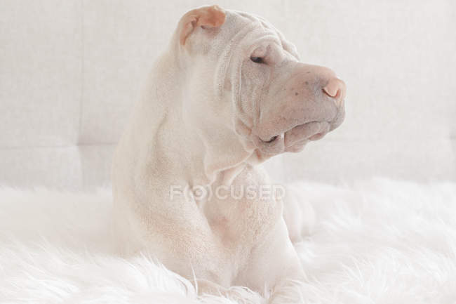 Chien Shar Pei — Photo de stock