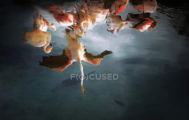 Reflection of flock of Flamingos — Stock Photo