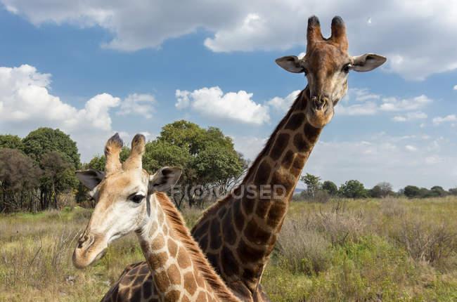 Deux girafes sauvages — Photo de stock