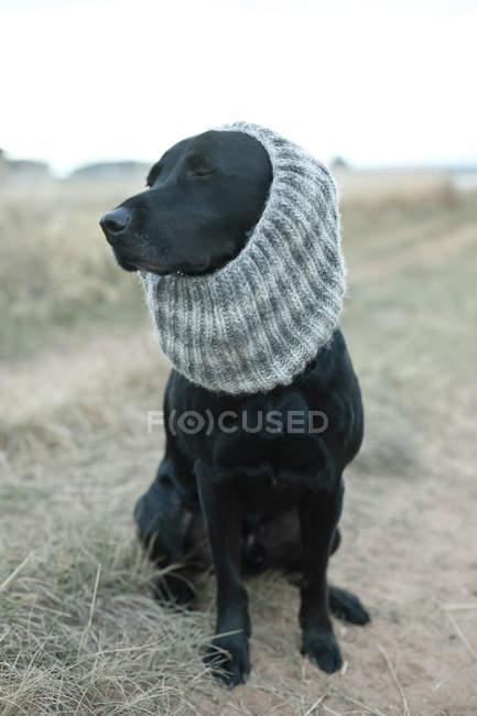 Dog wearing gray knit scarf — Stock Photo