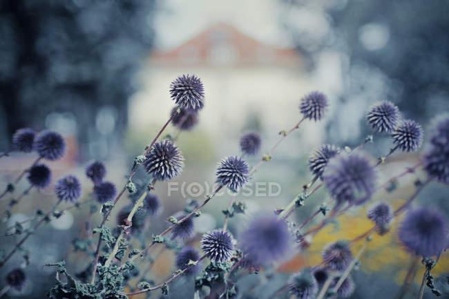 Фіолетові квіти з будівлі — стокове фото