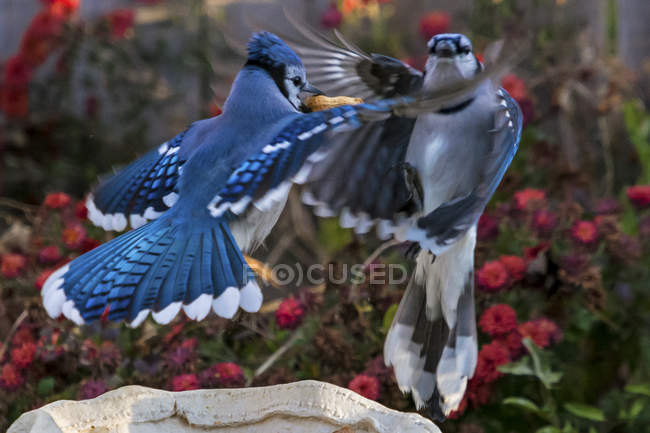 Dos jays azules batallan - foto de stock