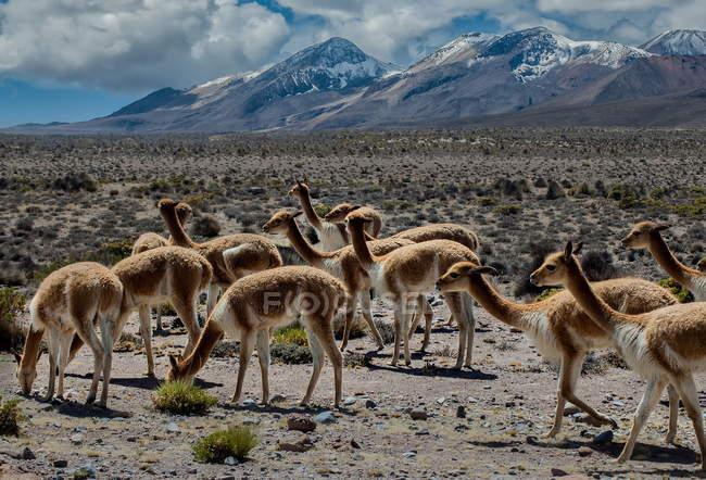 Paysage de montagne avec des vigognes sauvages — Photo de stock