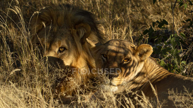 Lions lying in grass — Stock Photo