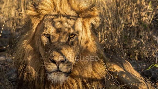 Крупным планом морда Льва — стоковое фото