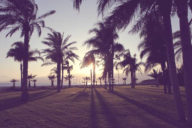 Silhouettes of palm tress — Stock Photo