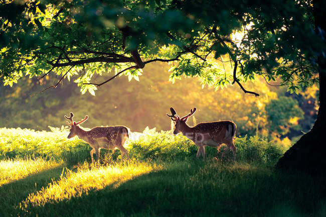 Two deer in park — Stock Photo