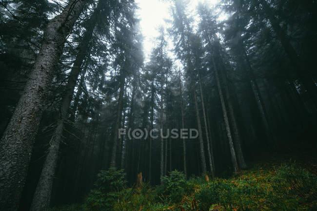 Sfondo foresta nebbiosa — Foto stock