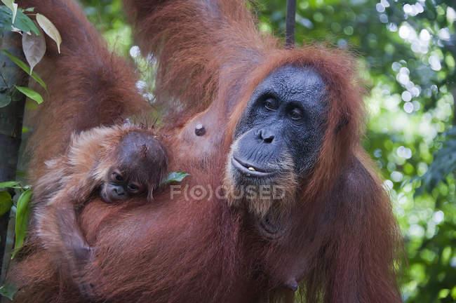 Orangutan con bambino che appende sull'albero — Foto stock