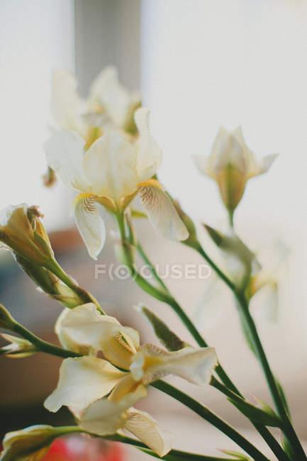 Білий irises, крупним планом — стокове фото