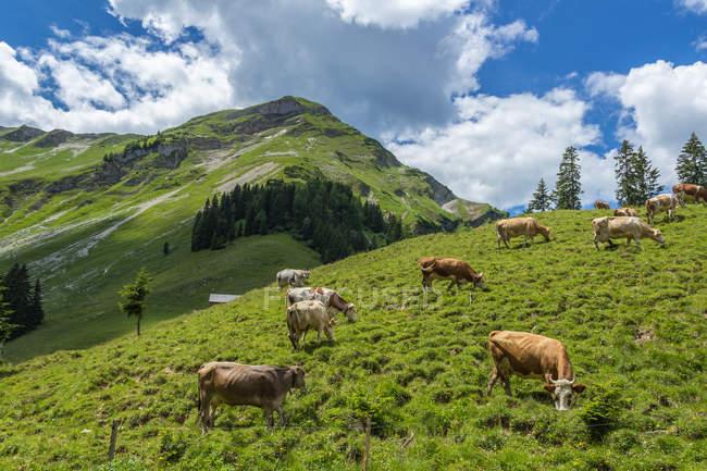 Коровы в луговых пастбищных — стоковое фото