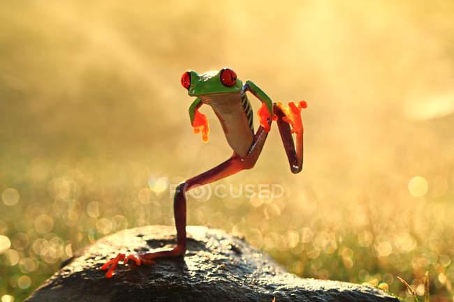 Funny dancing frog — Stock Photo