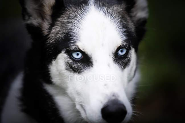 Собачих упряжках з блідо-блакитними очима — стокове фото