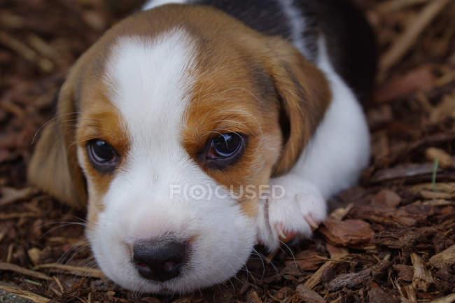 Cachorro Beagle deitado no chão — Fotografia de Stock