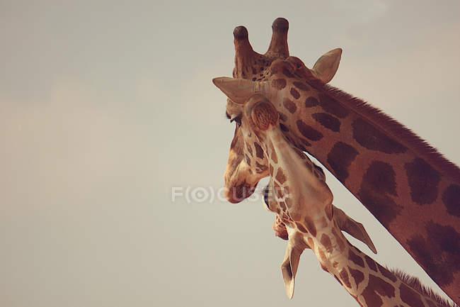 Две головы жирафов — стоковое фото