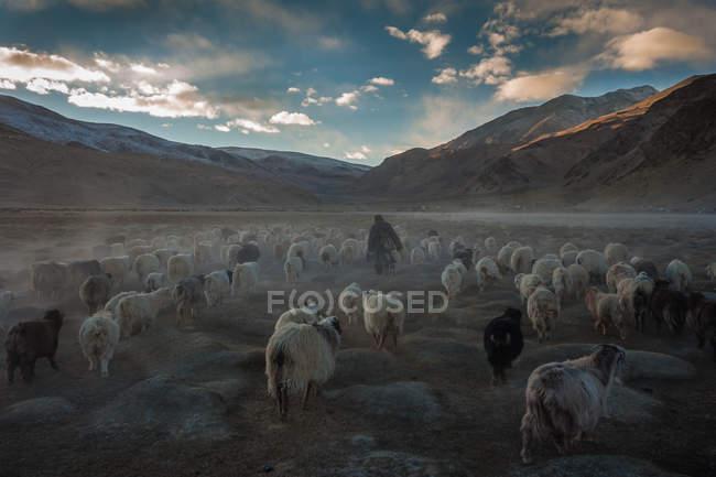 Changpa Nomadenherde weidet — Stockfoto
