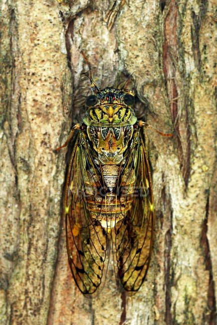 Italia, Cicada su albero — Foto stock