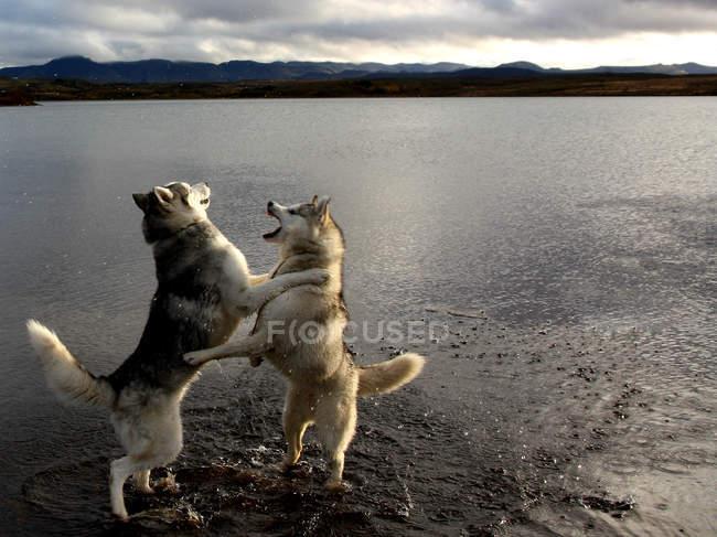 Cachorros Husky, jogando ao lado de água — Fotografia de Stock
