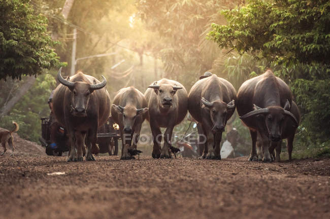 Buffalos walking in forest — Stock Photo