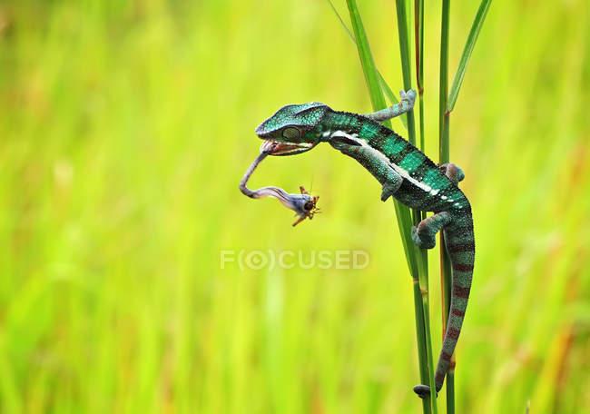 Indonésie, chasse au caméléon — Photo de stock