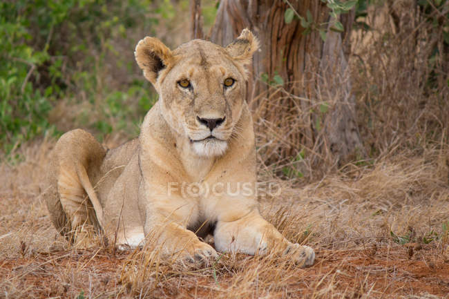 Lioness lying in grass — Stock Photo