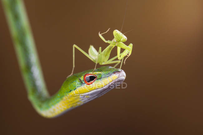 Mantis on head of snake — Stock Photo