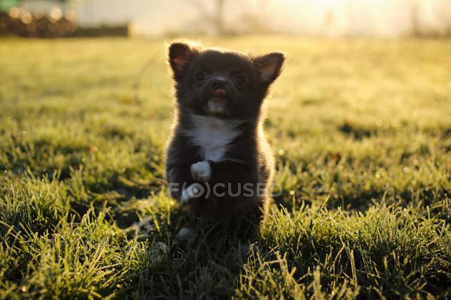 Chihuahua cucciolo di cane giocare — Foto stock